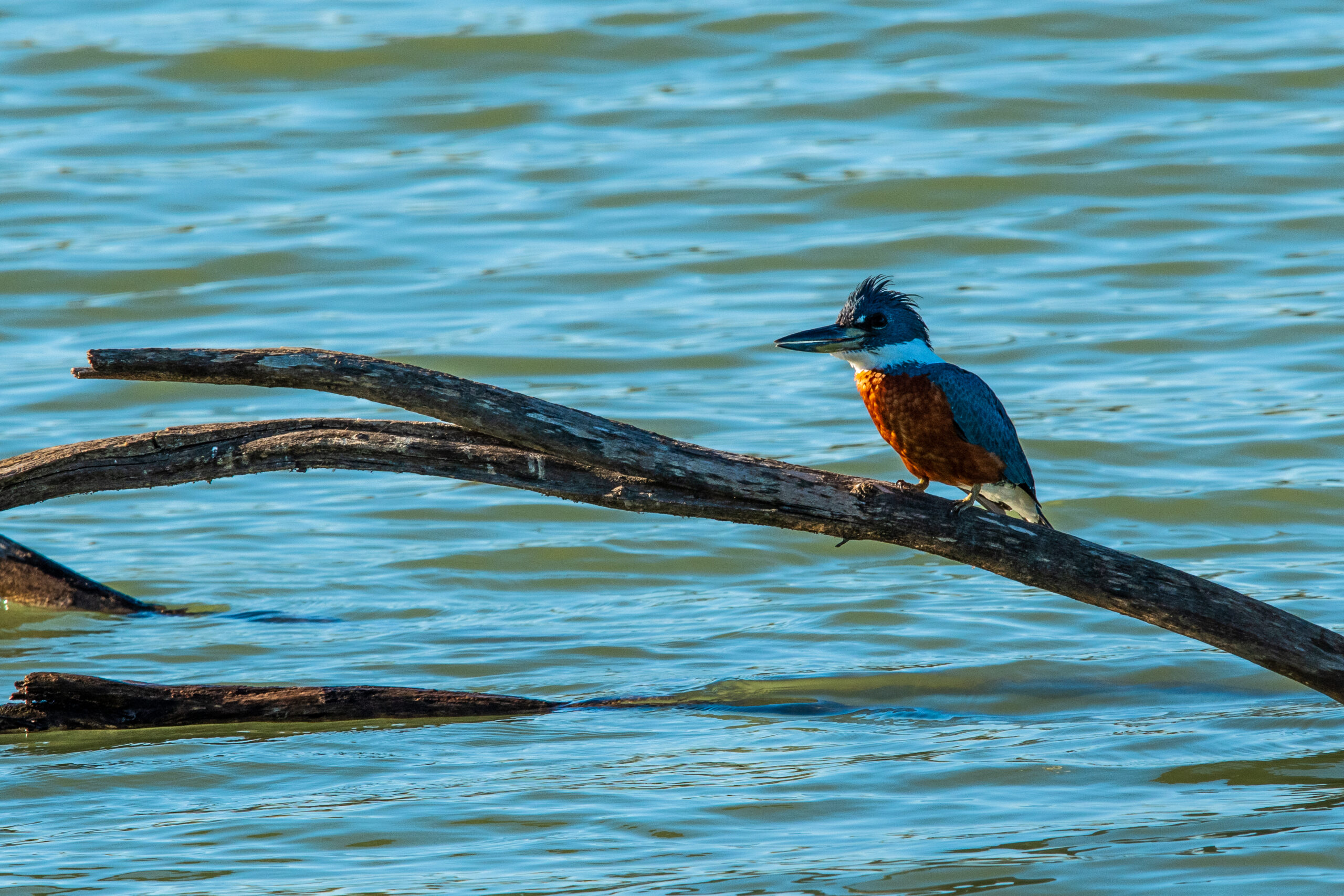 Belted Kingfisher by Britt Coleman
