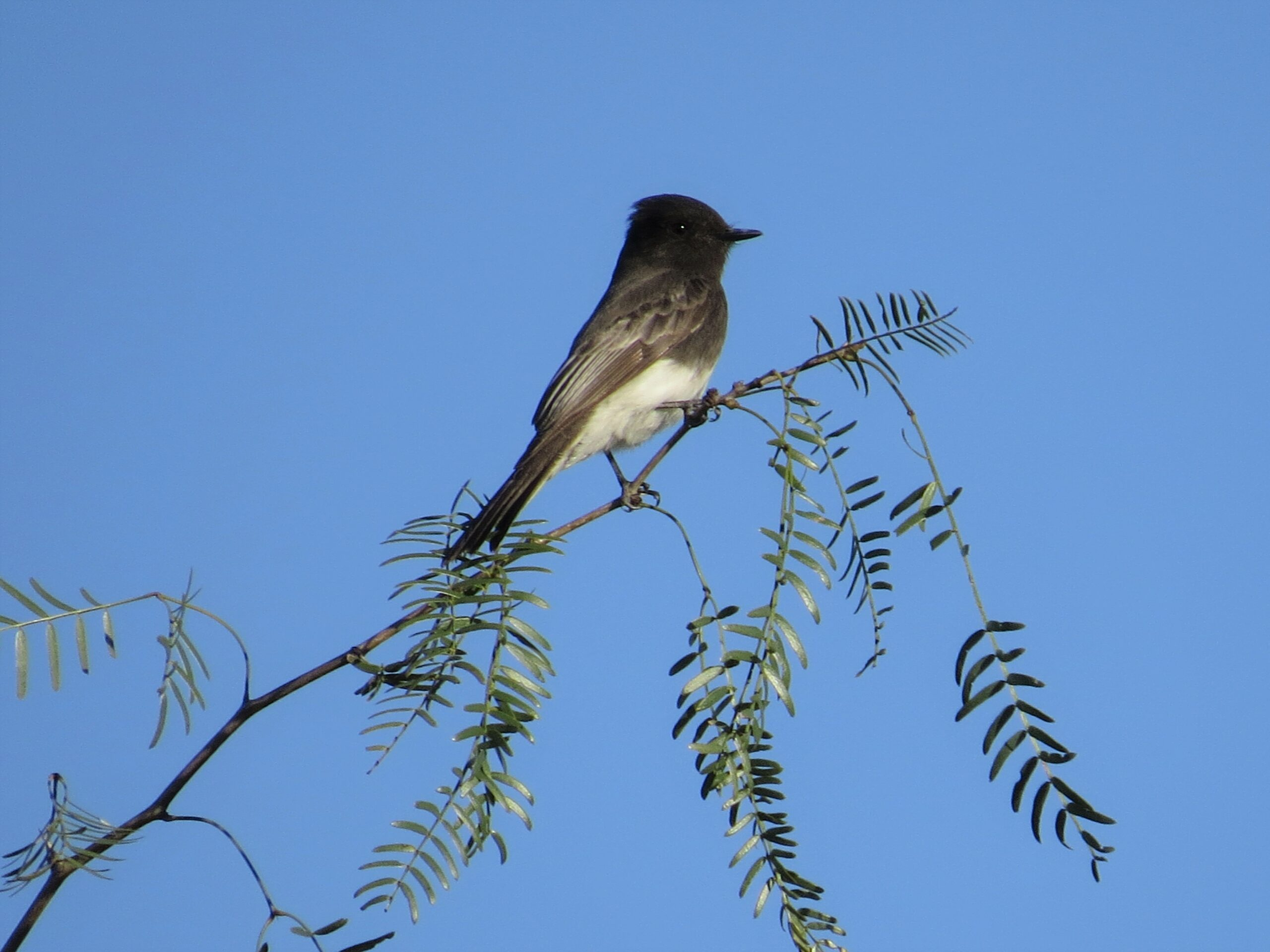 Black Phoebe by Lora Reynolds