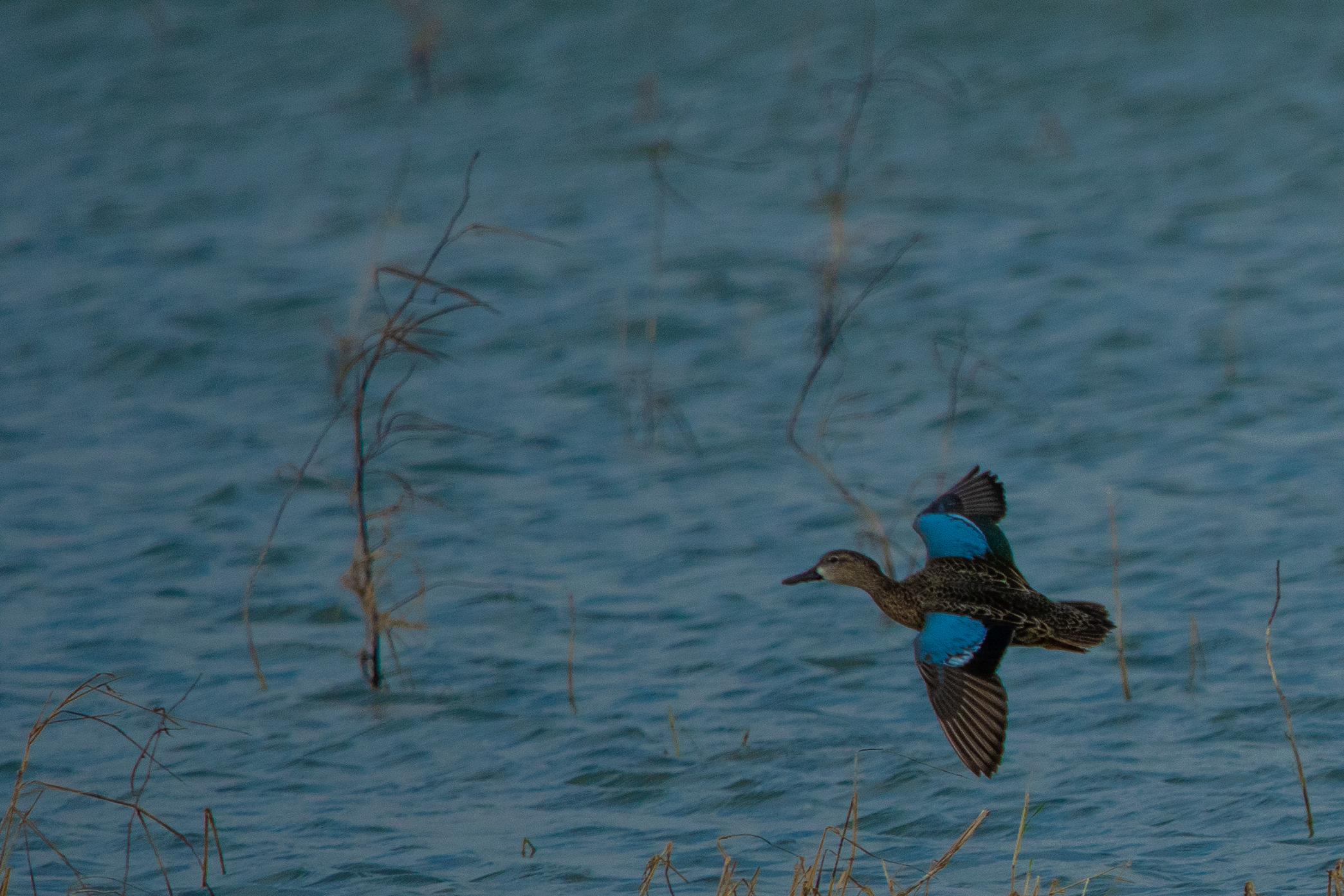 Blue-winged Teal by Britt Coleman