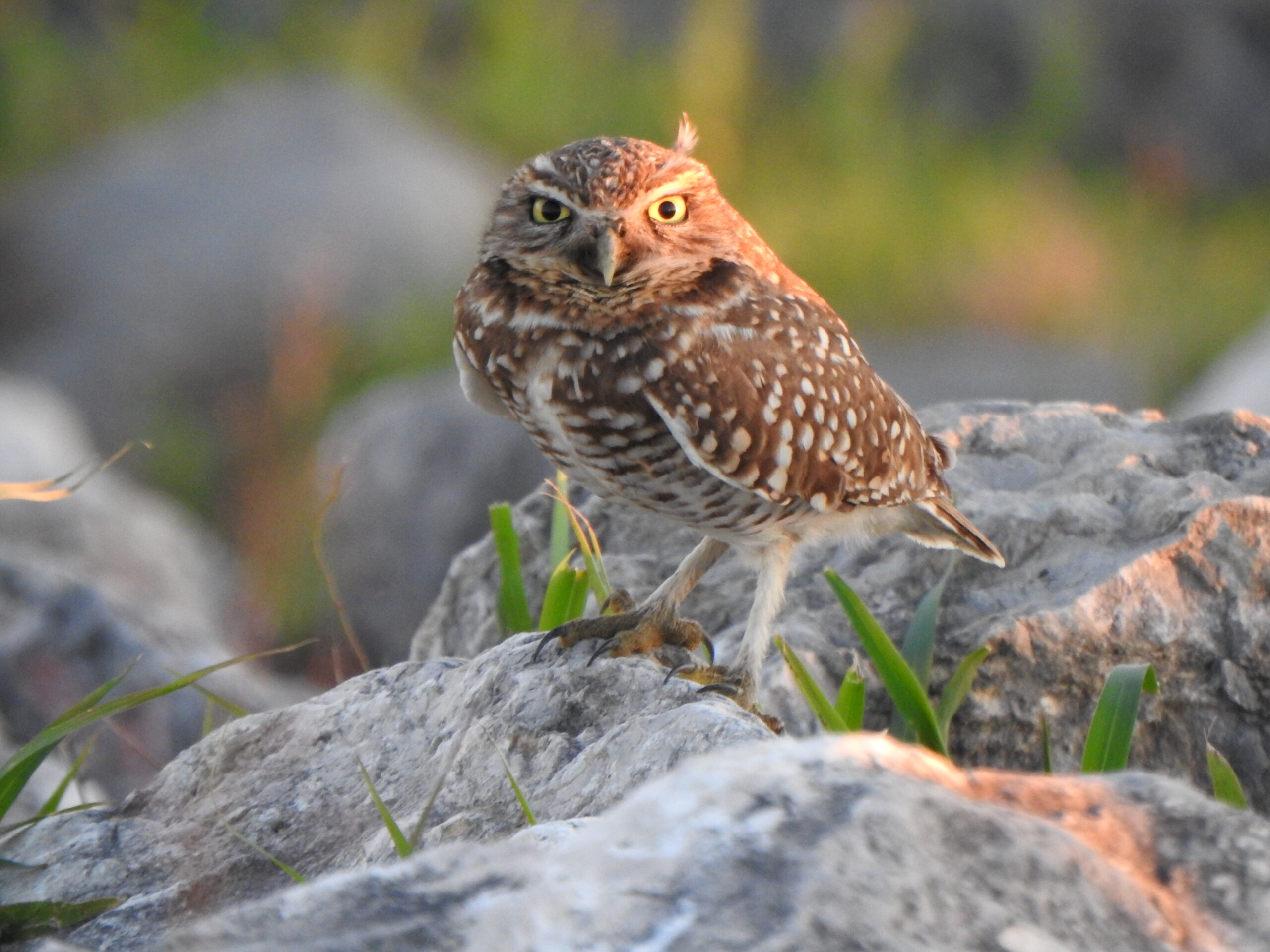 Burrowing Owl by Sherie Gee