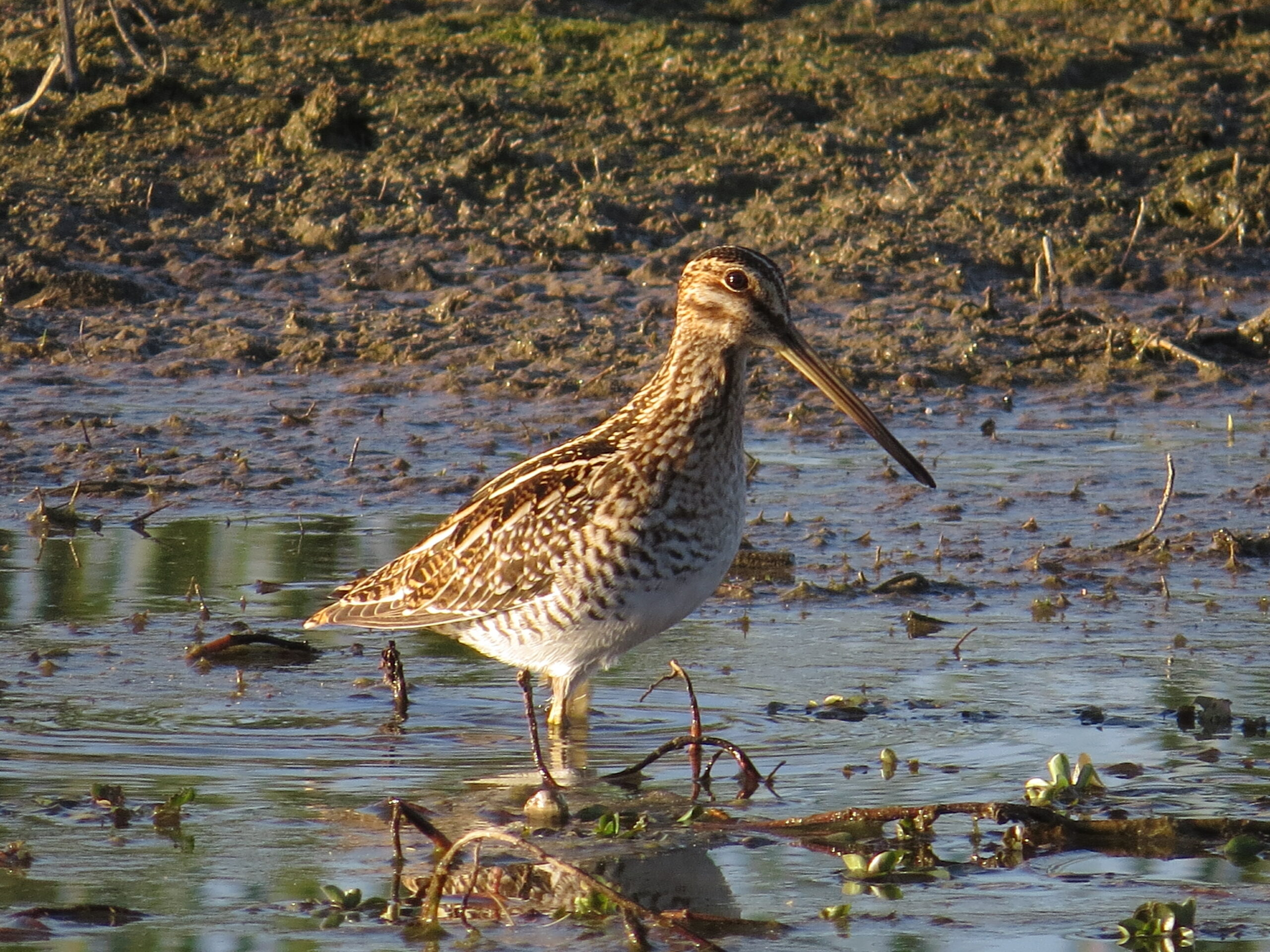 Wilson's Snipe at Estero Llano by Lora Reynolds