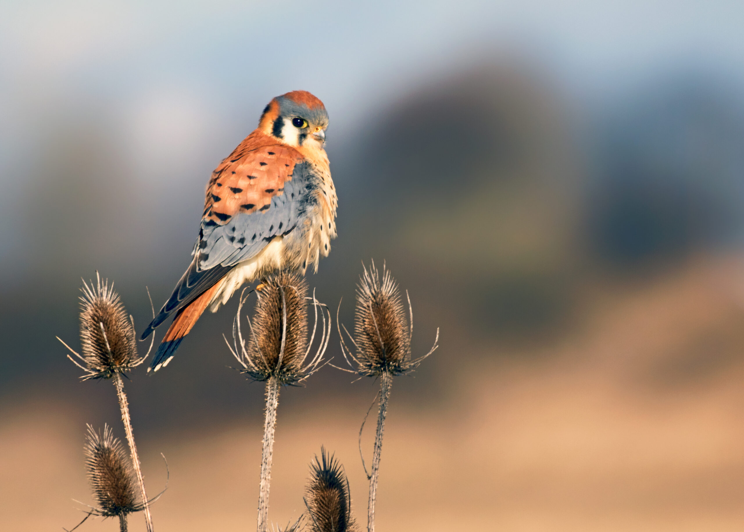 American Kestrel by Gary Grossman/Audubon Photography Awards