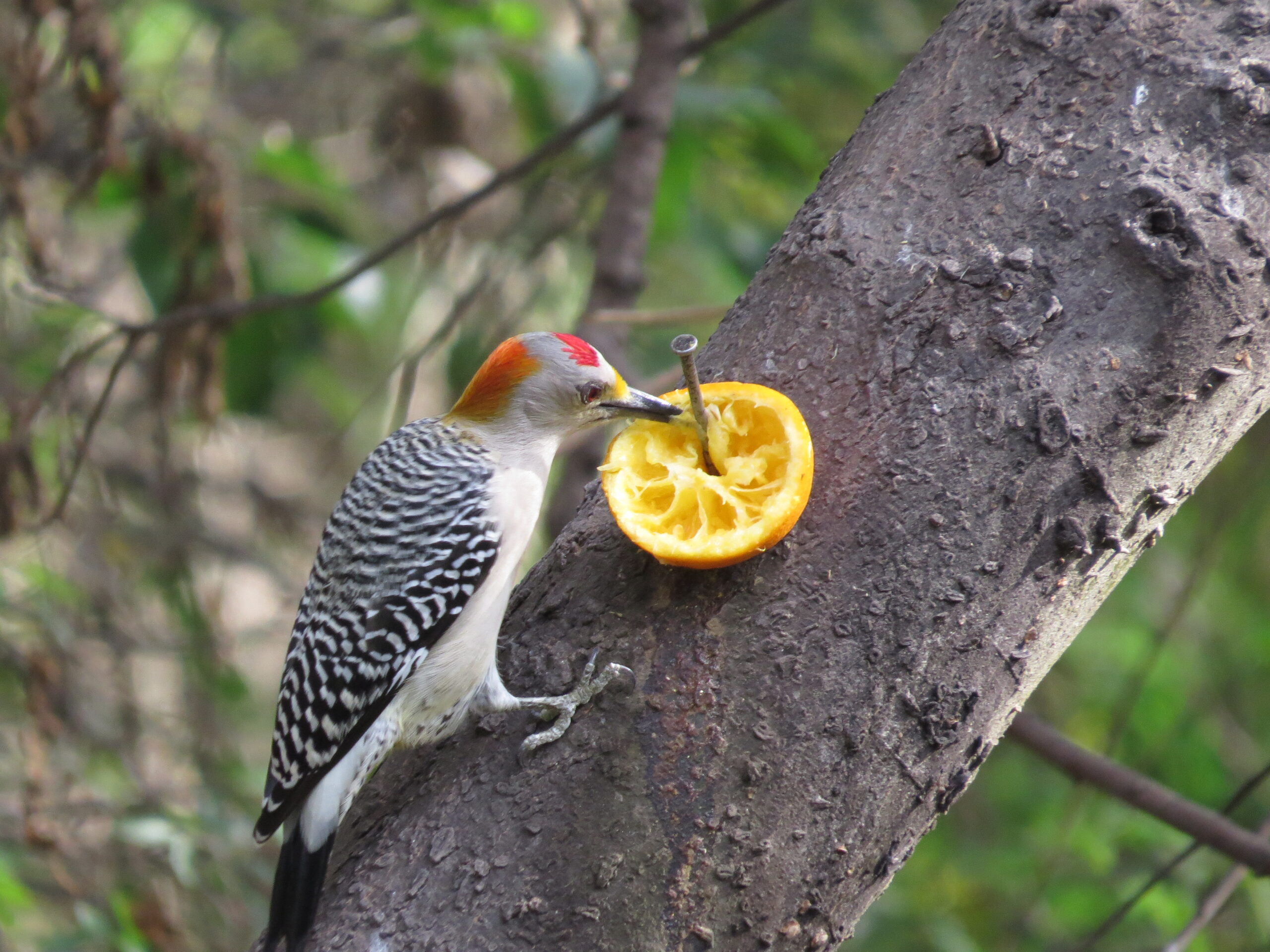 Golden-fronted Woodpecker at Natl Butterfly Ctr by Lora Reynolds