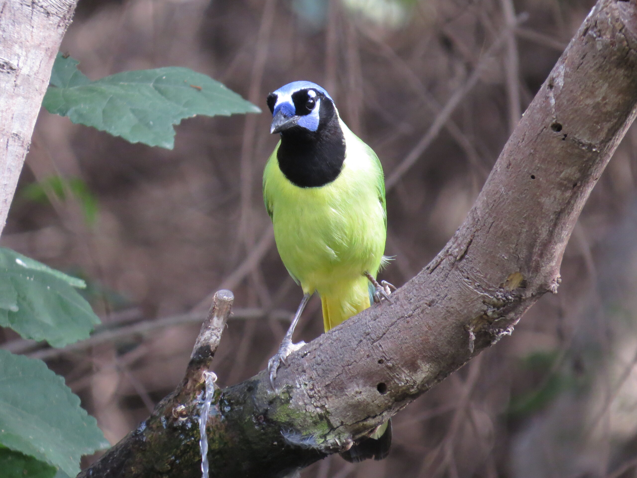 Green Jay at Natl Butterfly Ctr by Lora Reynolds