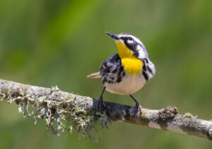 Yellow-throated Warbler by Lora Render