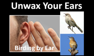 Unwax Your Ears Birding by Ear photo