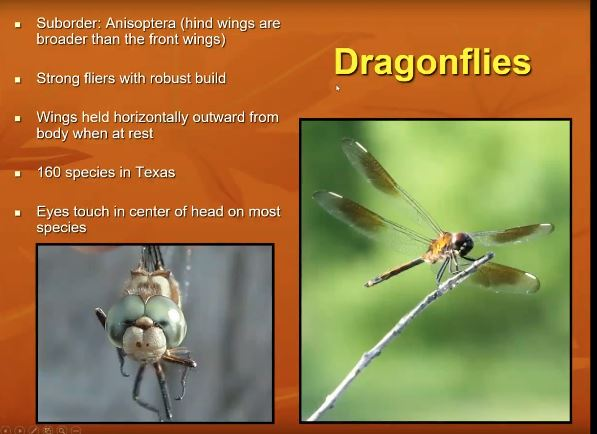 Dragonflies logo