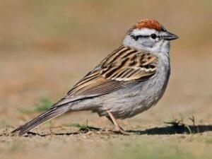 Chipping Sparrow Evan Lipton