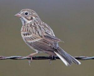 Vesper Sparrow Greg Lasley