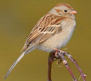 field sparrow daniel jauvin
