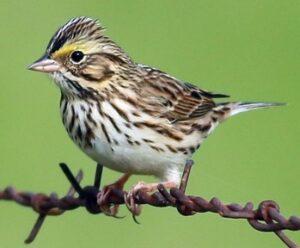savannah sparrow kirk swenson