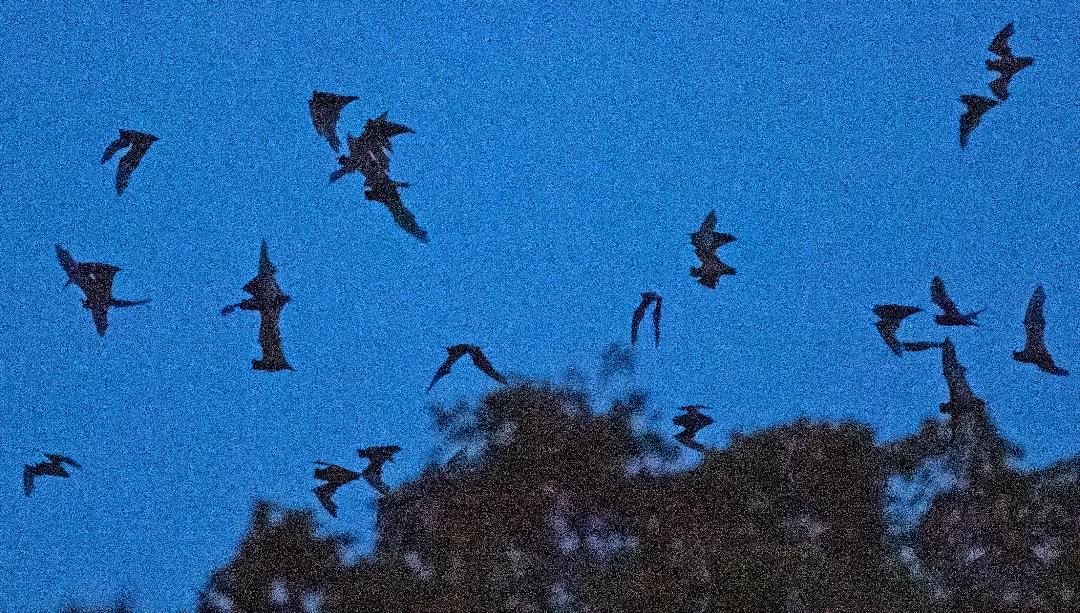 Artistic shot of bats in flight. KB