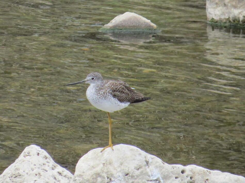 Greater Yellowlegs by Lora Reynolds, Concepcion Park, 2/28/21
