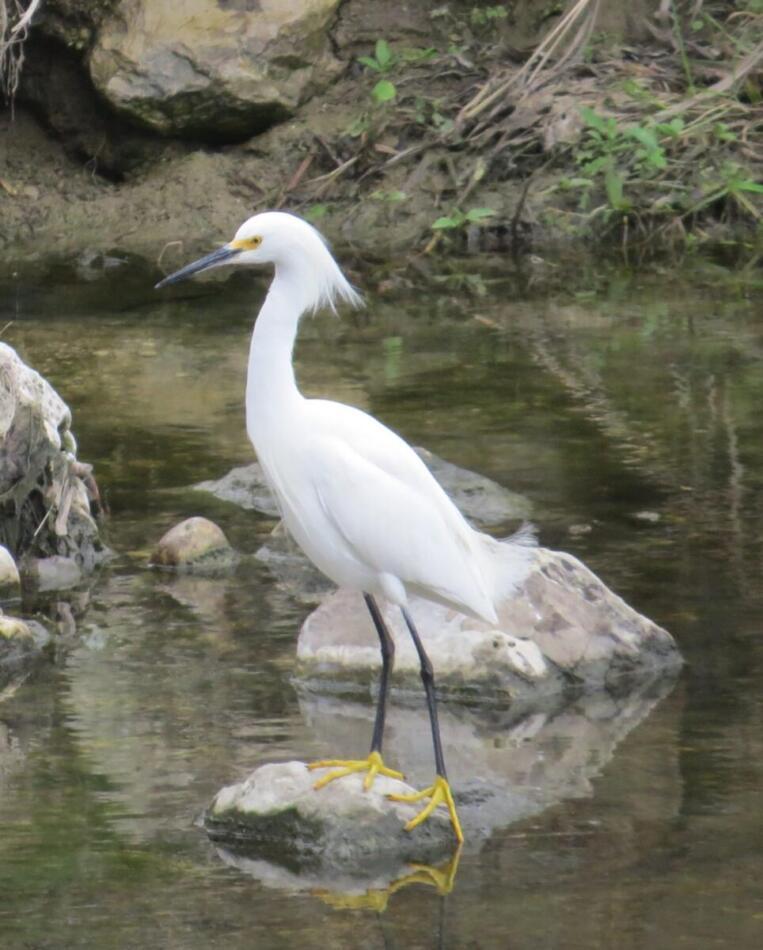 Snowy Egret  by Lora Reynolds, Concepcion Park, 2/28/21