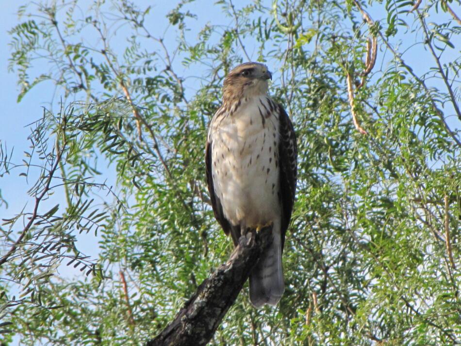 Broad-winged Hawk by Lora Reynolds, Backyard, San Antonio, 8/27/2016