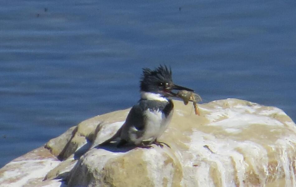 Belted Kingfisher by Lora Reynolds, Concepcion Park, 3/2/21