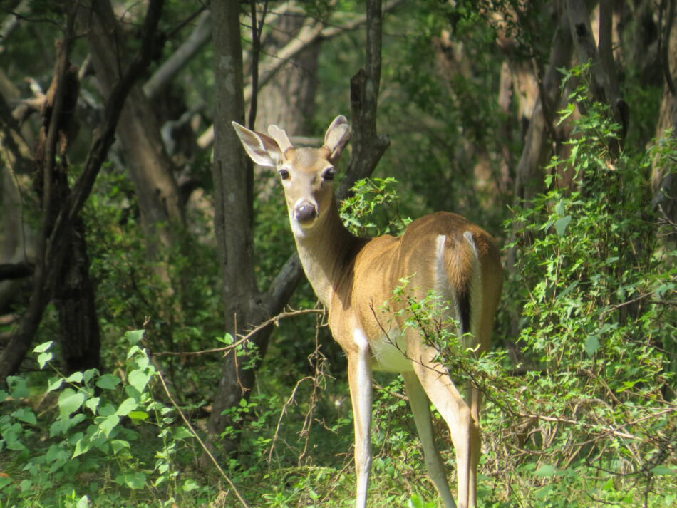 White-tailed Deer by Lora Reynolds, Hardberger Park, 6/10/2019