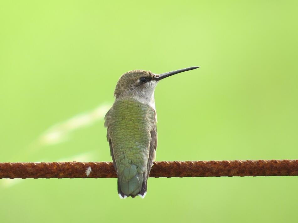 Black-chinned Hummingbird by Lora Reynolds, Hardberger Park, 6/10/2019
