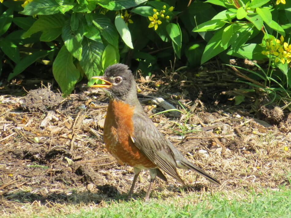 American Robin by Lora Reynolds, SA Botanical Garden, 6/13/2019