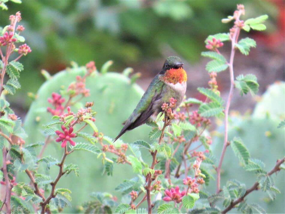 Ruby-throated Hummingbird by Mariana Outlaw, SA Botanical Garden, 6/13/2019