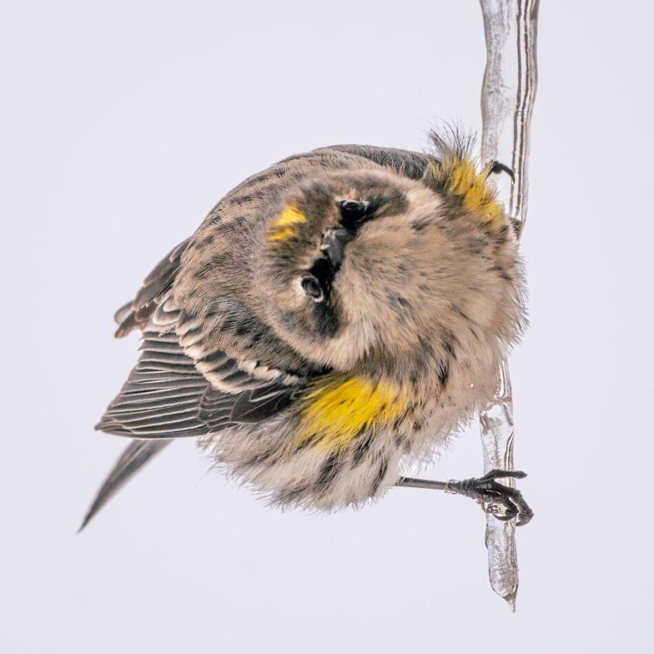 Yellow-rumped Warbler on Icicle by Al Williams, Marble Falls, 2/18/ 21