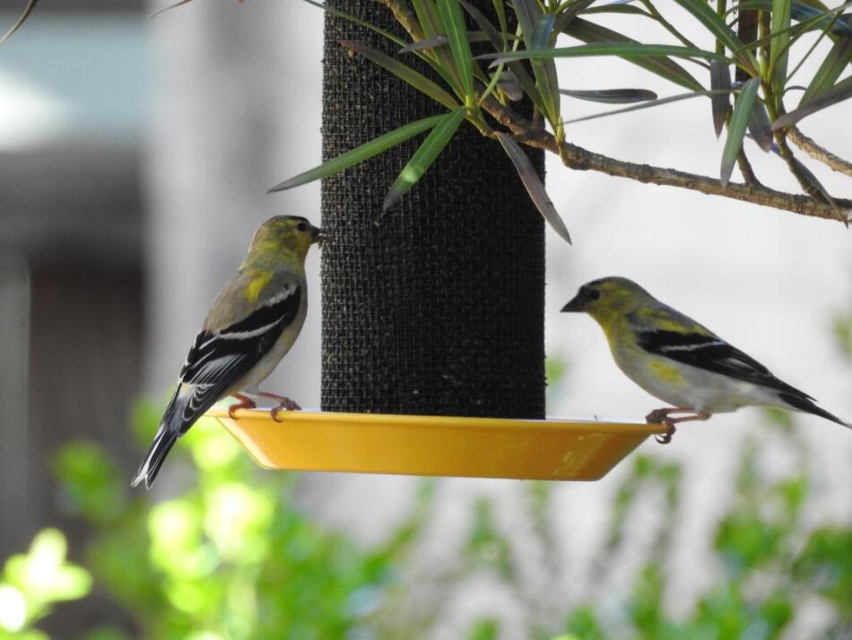 American Goldfinches by Sherie Gee, 3/2021
