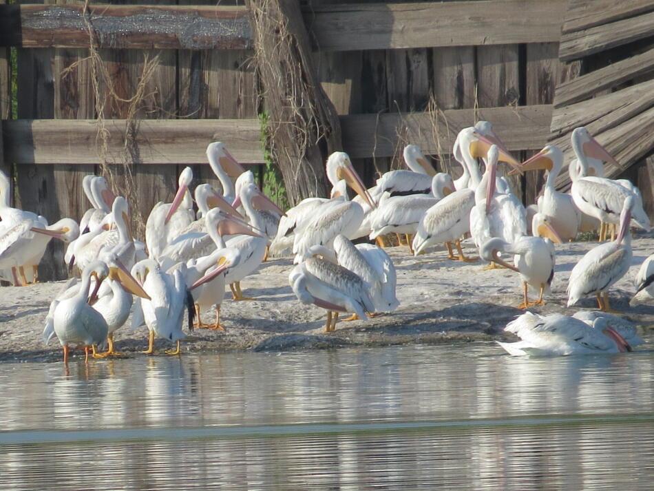 American White Pelican by Lora Reynolds, Mitchell Lake Audubon Center, 9/14/2019