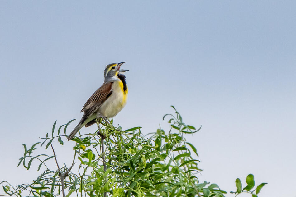 Dickcissel by Gerry Keshka, North Central San Antonio, 5/2/2020