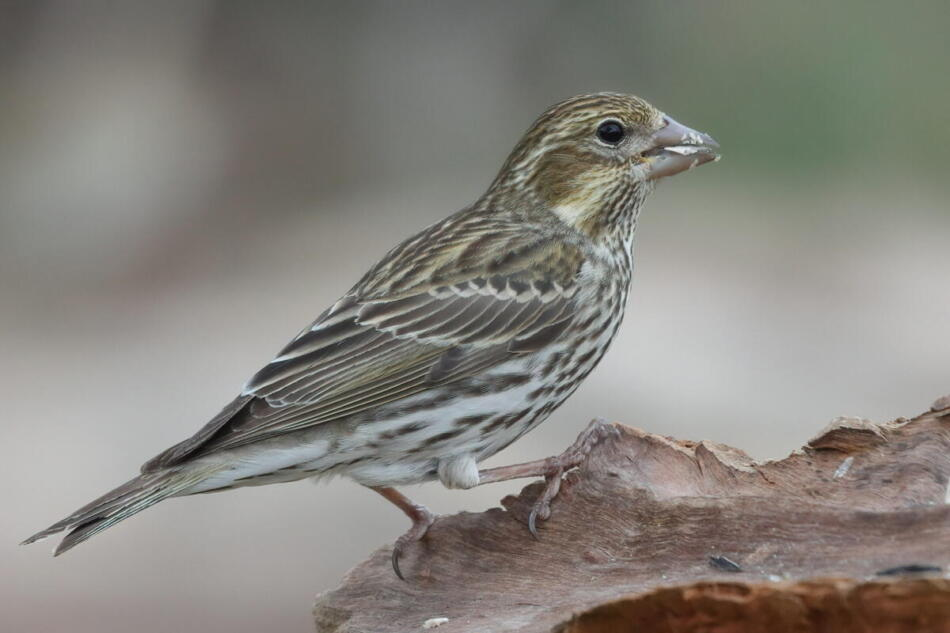 Female Cassin's Finch by A. Skuza, South Llano River State Park, 3/28/21