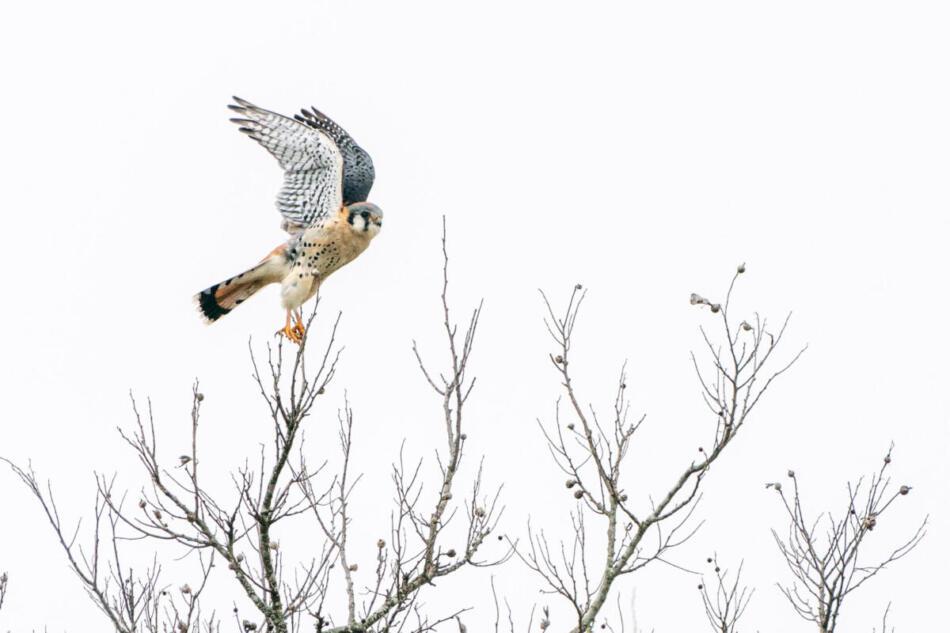 American Kestrel by Gerry Keshka, Crescent Bend Nature Park, 2/18/2020