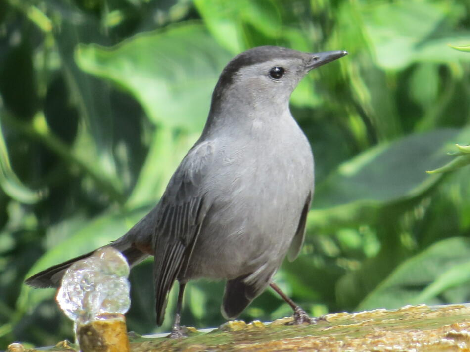 Gray Catbird by Lora Reynolds, Backyard, San Antonio, 10/12/2019