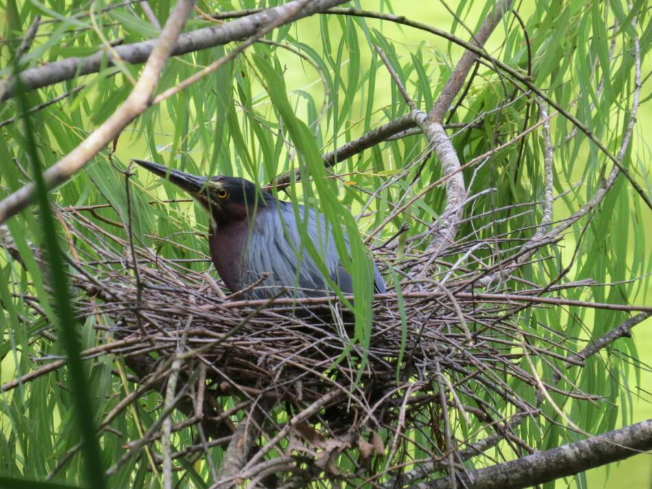 Green Heron on Nest by Lora Reynolds, SA Botanical Garden, 7/20/2019