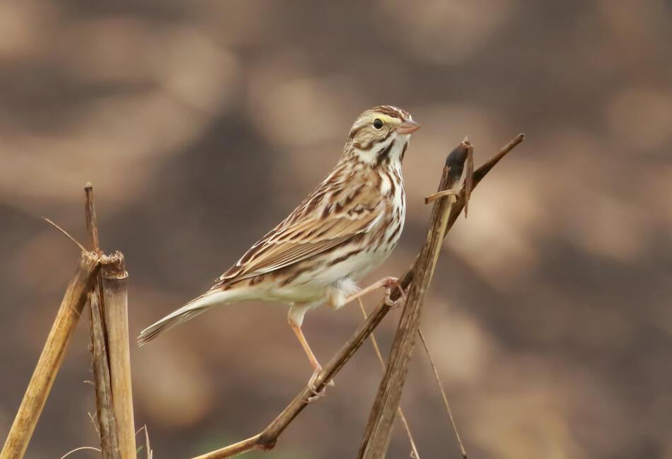 Savannah Sparrow by Lora Render, New Braunfels, 1/29/2015