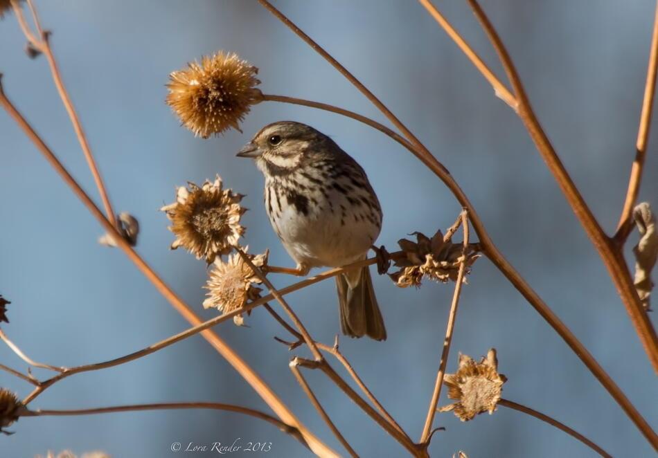 Song Sparrow by Lora Render; Socorro, NM; 1/17/2013