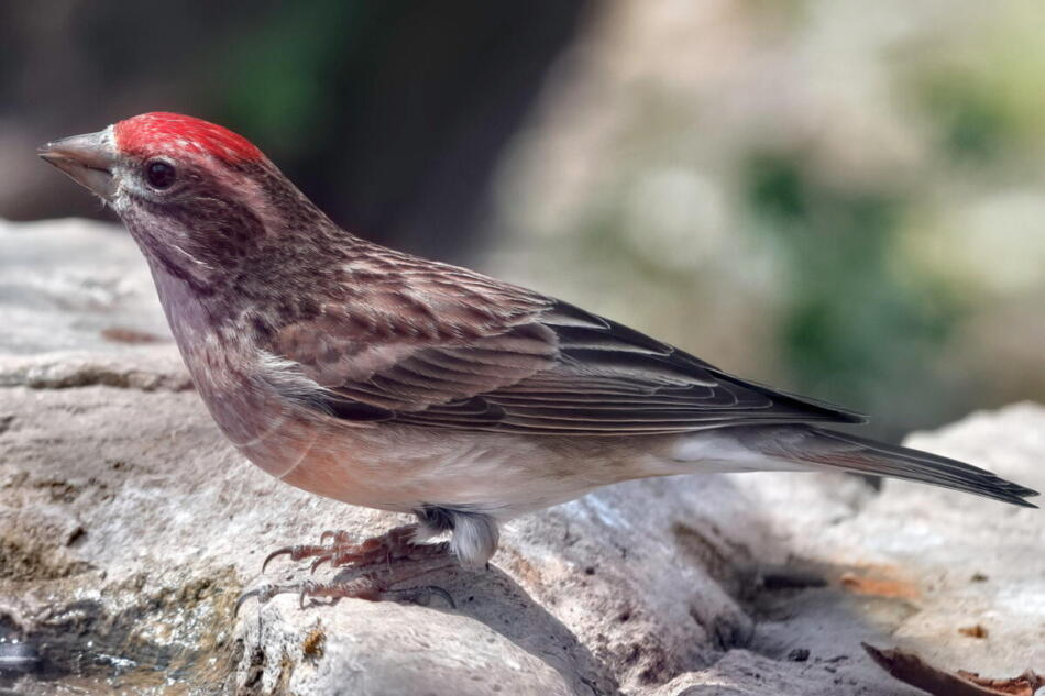 Cassin's Finch by A. Skuza, South Llano River State Park, 3/28/21