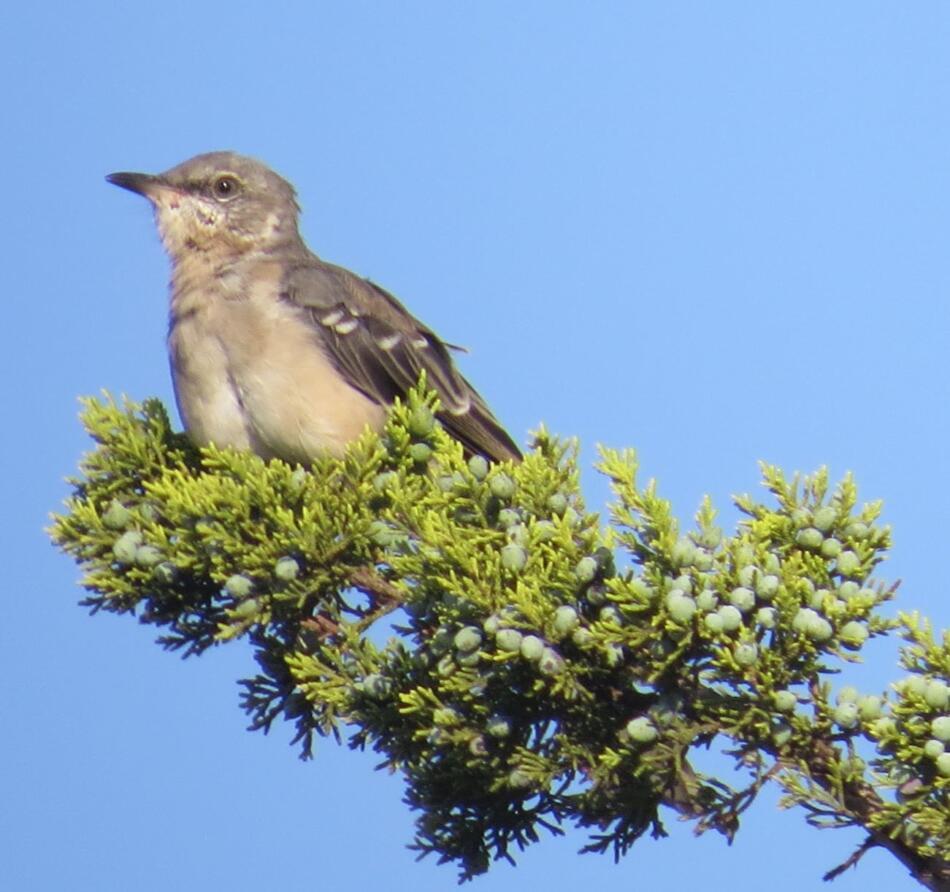 Northern Mockingbird by Lora Reynolds, Hardberger Park, 9/16/2019