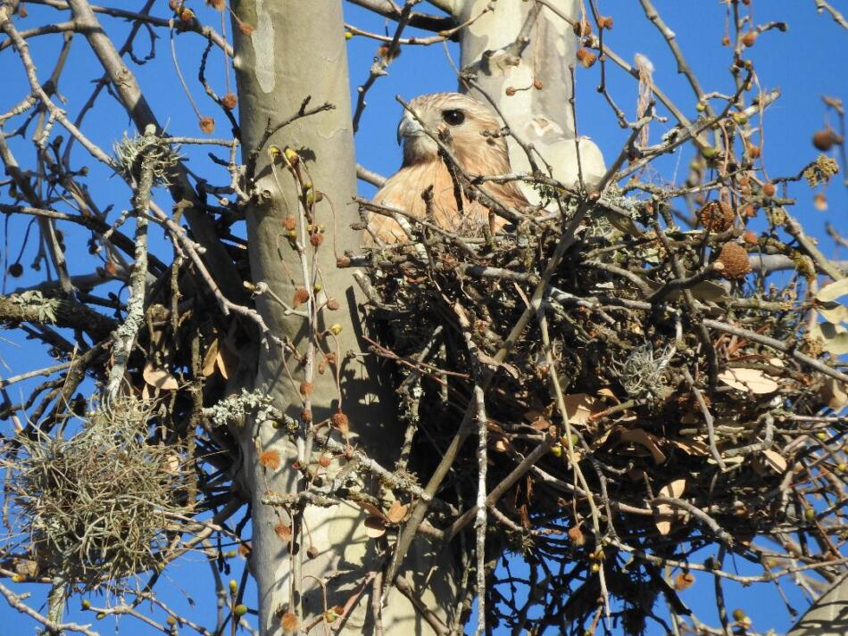 Red-Shouldered Hawk in Nest by Sherie Gee, 3/2021