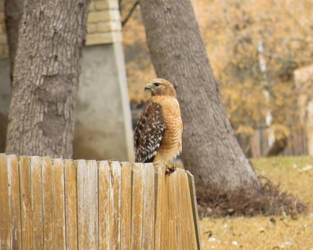 Red-shouldered Hawk by Chris M, San Antonio, 2/27/21