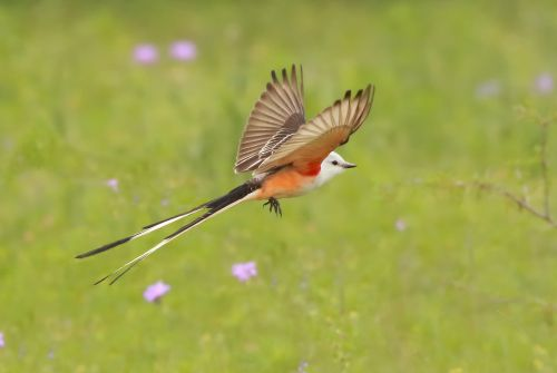 Scissor-tailed Flycatcher by Lora Render, Warbler Woods, 4/4/2015