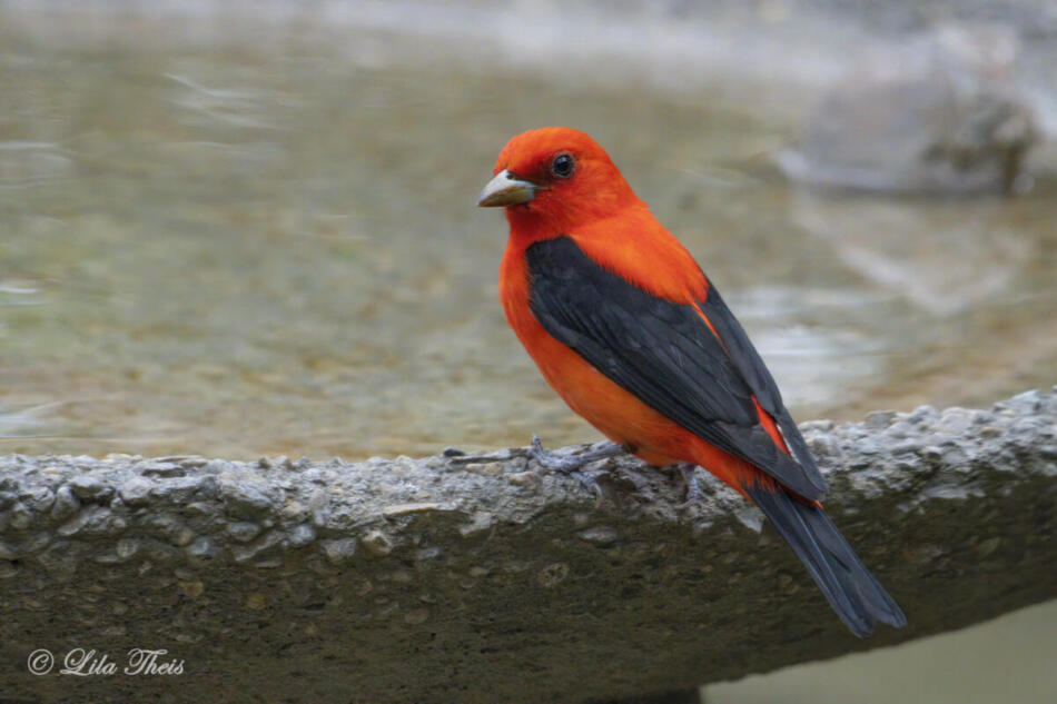 Scarlet Tanager by Lila Theis, NW San Antonio Backyard, 4/30/21