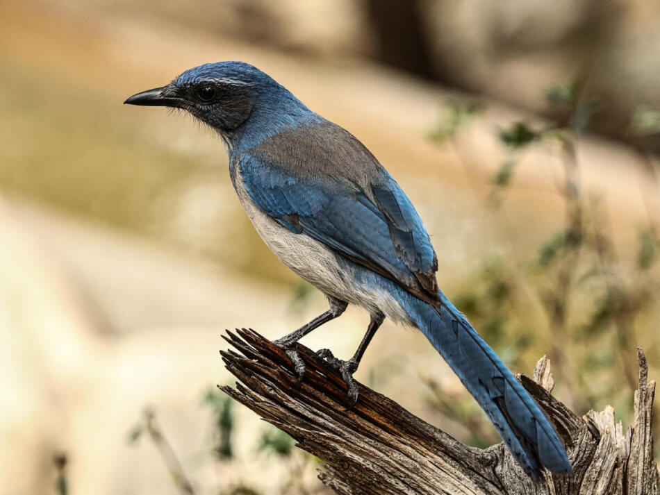 Woodhouse's Scrub Jay by Don Hall, South Llano River State Park, 3/9/21