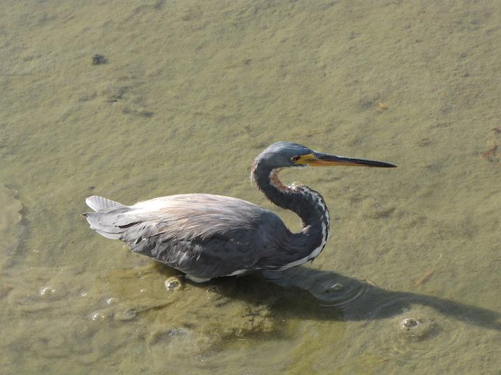 Tri-colored Heron by Lora Reynolds, Port Aransas, 11/30/2018