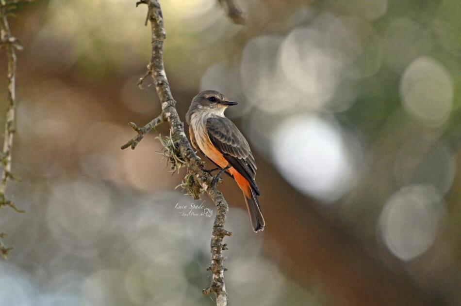 Female Vermilion Flycatcher by Lucy Spade, Choke Canyon, 9/20/21