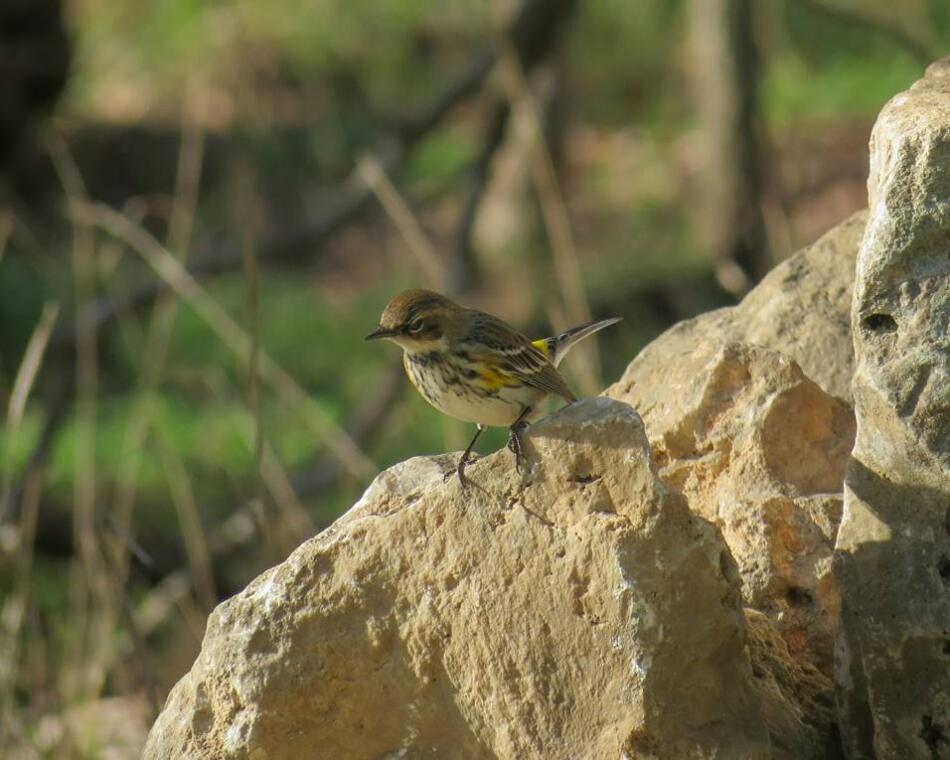 Yellow-rumped Warbler by Chris M, Phil Hardberger Park, 3/4/21