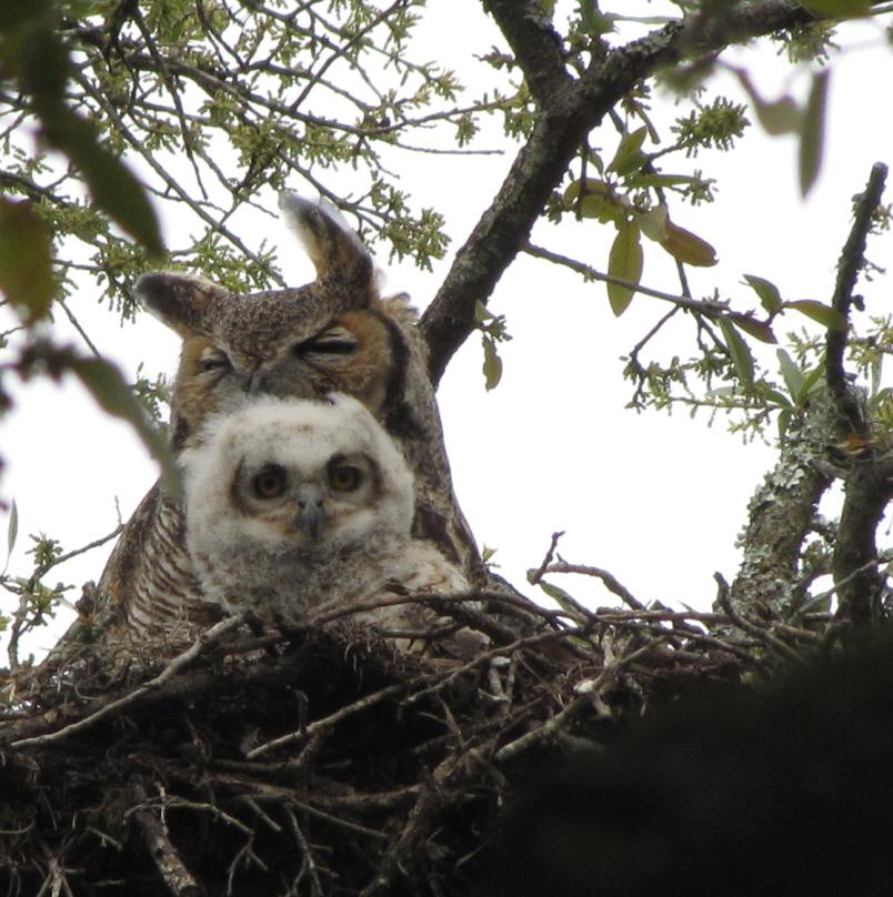 Great Horned Owl by Lora Reynolds, Salado Creek Greenway, 3/14/2010