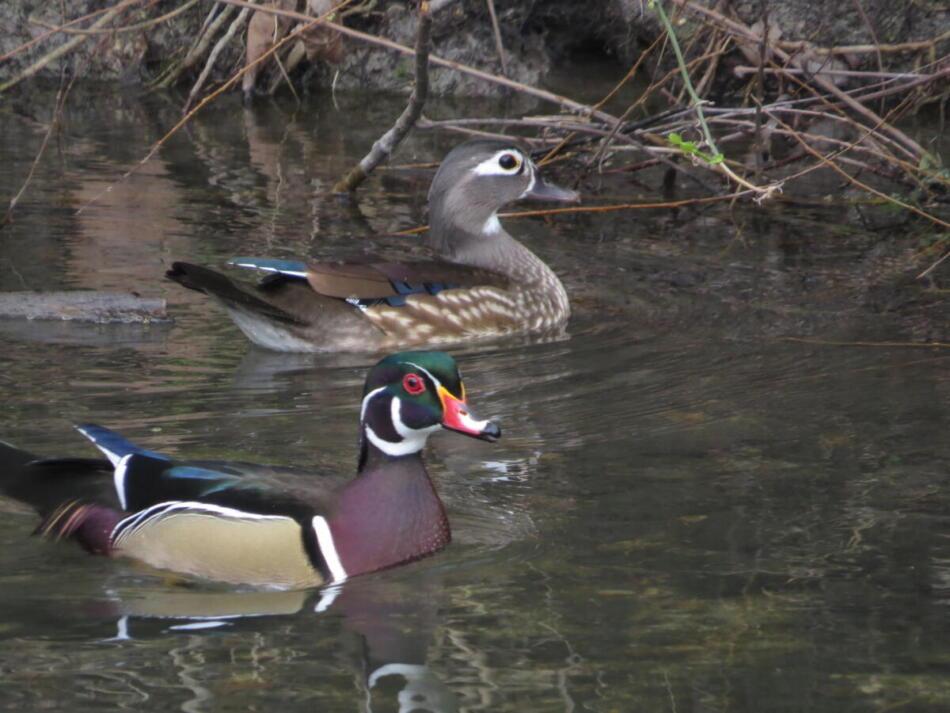 Wood Ducks by Lora Reynolds, Avenue A, 3/21/21