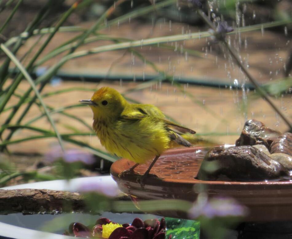 Yellow Warbler by Lora Reynolds, North Central San Antonio Backyard, 5/3/21