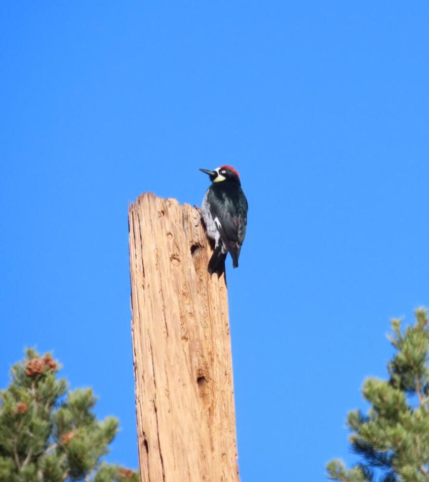 Acorn Woodpecker by Patsy Inglet, Big Bend area, 12/24/20