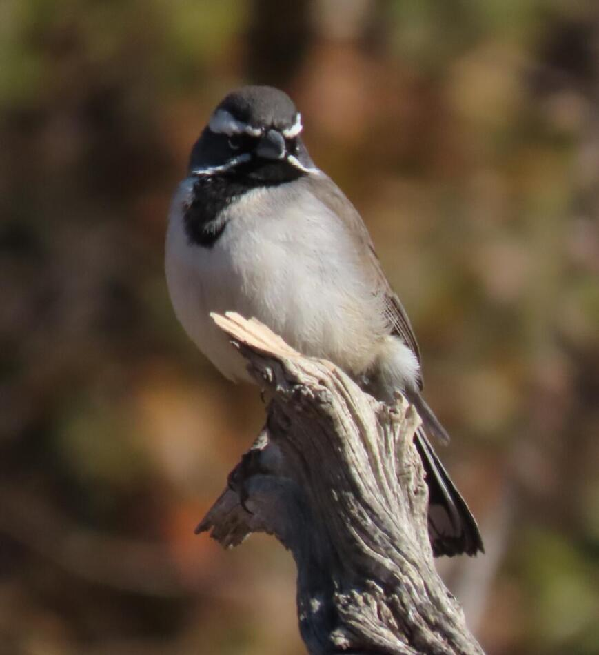 Black-throated Sparrow by Patsy Inglet, Big Bend area, 12/24/20