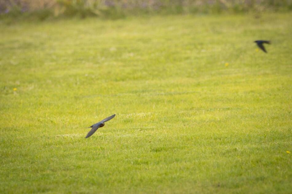 Barn Swallow by Britt Coleman, Jeff Davis County Park, 5/12/21